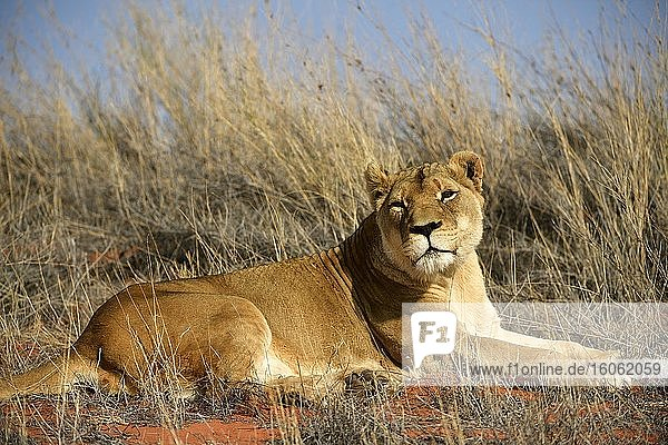 Löwin (Panthera leo) ruht auf einer grasbewachsenen Düne  Kalahari  Namibia  Afrika