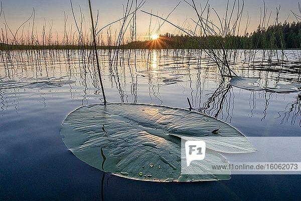 Seerosenblatt bei Sonnenuntergang auf einem See in Abendstimmung  Muddus Nationalpark  Jokkmokk  Norrbottens län  Schweden  Europa