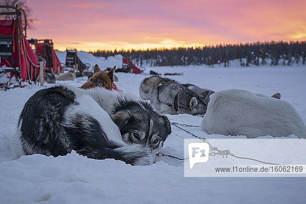 Hundeschlittengespann ruht im Morgengrauen im Schnee  Skaulo  Norrbottens län  Schweden  Europa