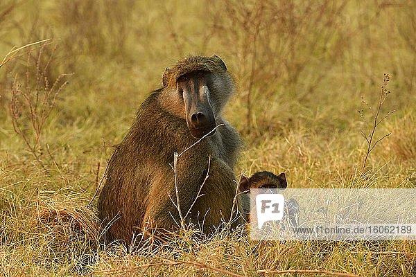 Bärenpavian (Papio ursinus)  Muttertier mit Jungtier sitzt im Gras  Chobe-Nationalpark  Botswana  Afrika