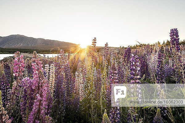Lila Vielblättrige Lupinen (Lupinus polyphyllus)  Sonnenaufgang  Lake Tekapo vor Südalpen  Canterbury  Südinsel  Neuseeland  Ozeanien