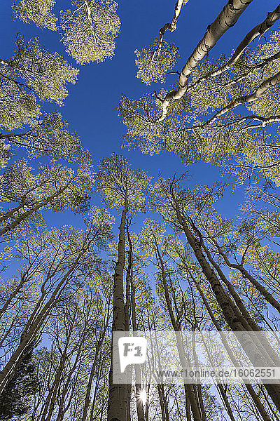 wide angle view of towering aspen trees in the autumn