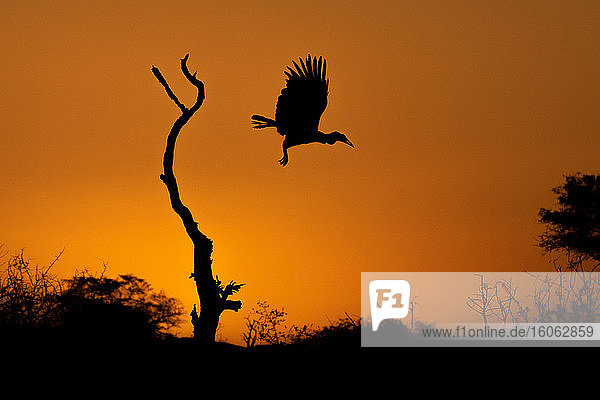 Silhouette of a Ground Hornbill Bucorvus?leadbeateri at flight from a dead tree at sunset.