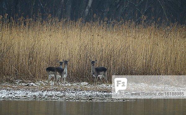 Damhirschkühe (Dama dama)  Schnee  stehen im Schilf  Donauauen  Niederösterreich  Österreich  Europa