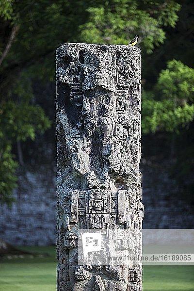Ein Pitangus Sulphuratus liegt auf einem der Stelen am Großen Platz  Archäologischer Park Copán  Honduras  Mittelamerika