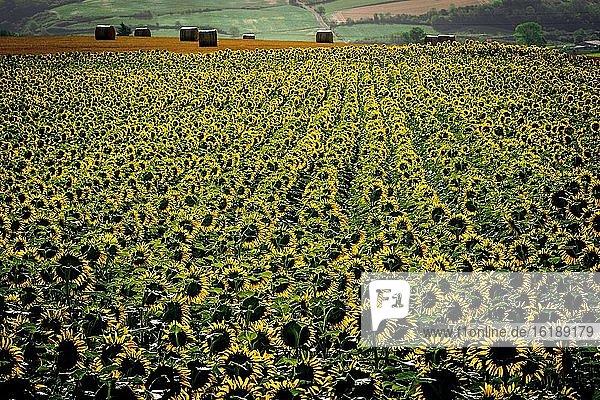 Sonnenblumenfeld  Department Puy de Dome  Auvergne-Rhône-Alpes  Frankreich  Europa