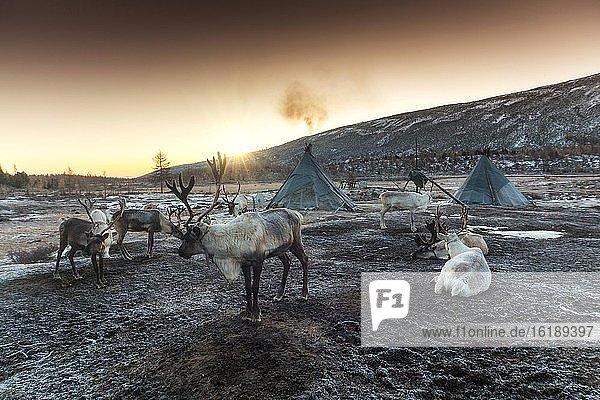 Rentiere vor Zelten  Ulaan Taiga Gebirge  Provinz Khuvsgul  Mongolei  Asien