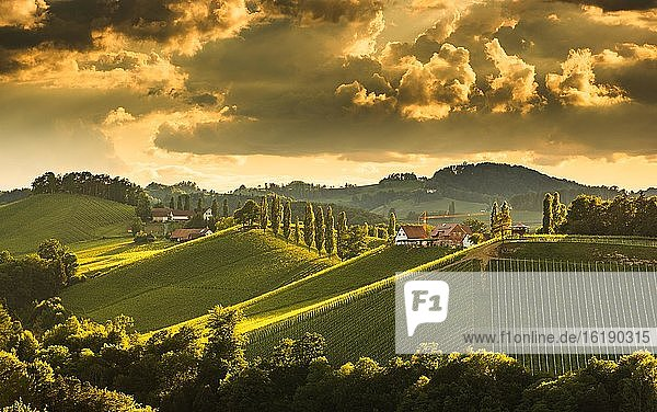 Vineyards in the evening light  South Styria  Austria  Europe Vineyards in the evening light, South Styria, Austria, Europe