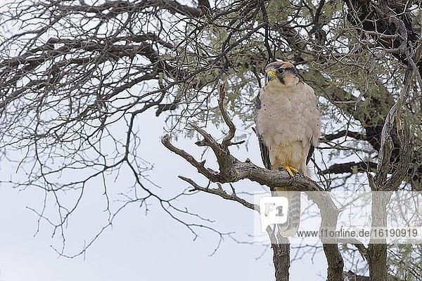 Lannerfalke (Falco biarmicus)  adult  auf einem Ast sitzend  auf der Suche nach Beute  Kgalagadi Transfrontier Park  Nordkap  Südafrika