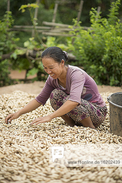 Mid adult woman working during peanut harvest,  Shan State,  Keng Tung,  Burma