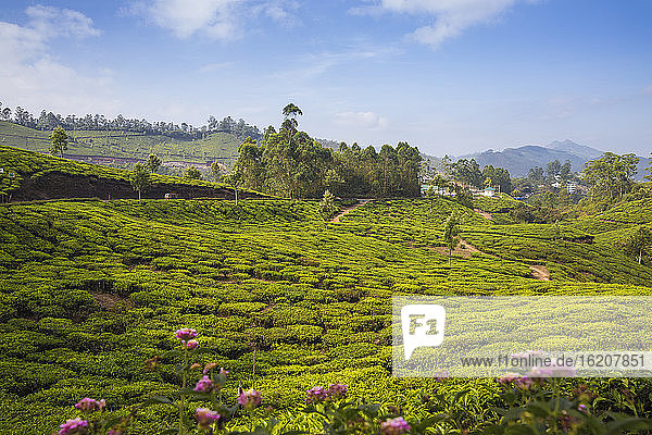 Teeplantagen  Munnar  Kerala  Indien  Asien
