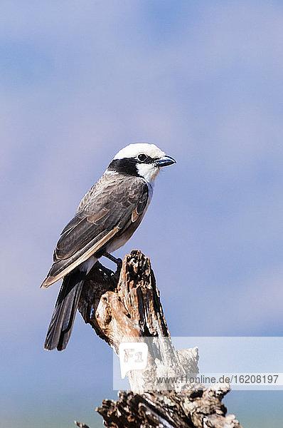 Grau-unterstützter Fiskal (Lanius excubitoroides)  Taita Hills Wildlife Sanctuary  Kenia  Ostafrika  Afrika