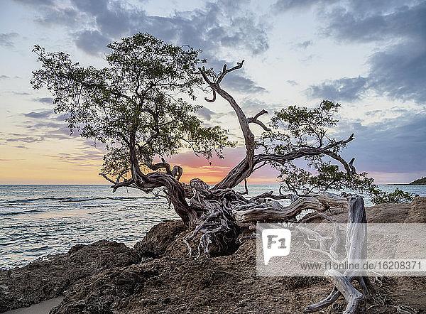Einsamer Baum am Jack-Sprat-Strand bei Sonnenuntergang  Treasure Beach  St. Elizabeth Parish  Jamaika  Westindische Inseln  Karibik  Mittelamerika