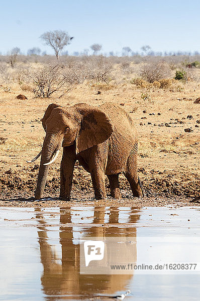 Weiblicher Elefant (Loxodonta africana)  am Wasserloch  Tsavo-Ost-Nationalpark  Kenia  Ostafrika  Afrika
