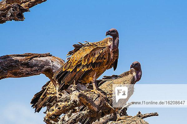 Rüppell-Gänsegeier (Gyps rueppelli)  Tsavo-West-Nationalpark  Kenia  Ostafrika  Afrika