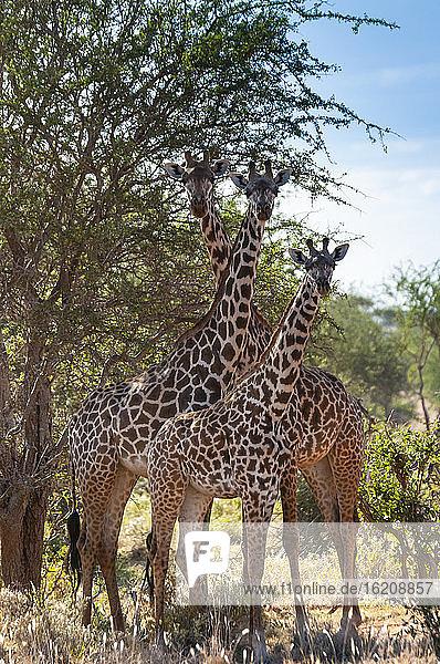 Maasai-Giraffen (Giraffa tippelskirchi)  Tsavo-Ost-Nationalpark  Kenia  Ostafrika  Afrika