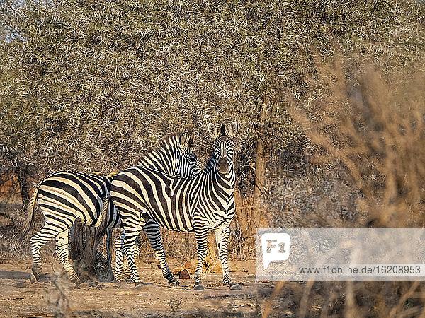 Ausgewachsene Steppenzebras (Equus quagga)  in Save Valley Conservancy  Simbabwe  Afrika