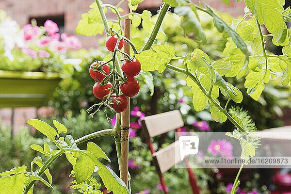 Tomatoes (Solanum lycopersicum)growing on balcony