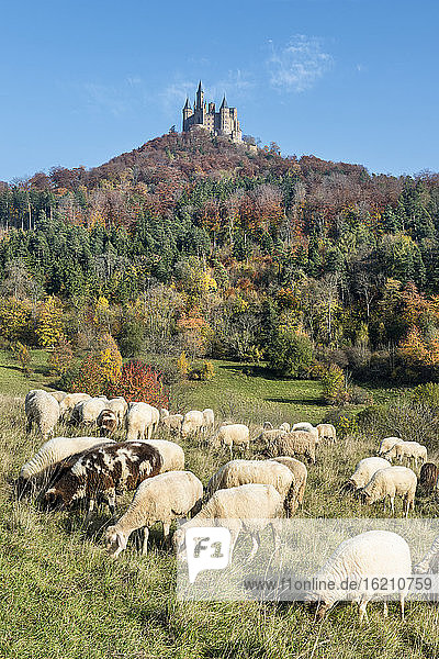 Germany  Baden Wuerttemberg  Flock of sheeps grazing grass  Hohenzollern Castle in background