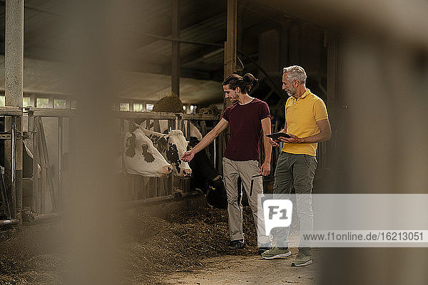 Mature farmer with tablet and adult son at cow house on a farm