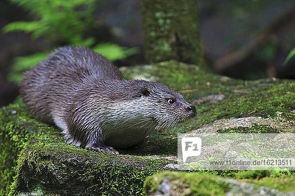 Germany  European otter (Lutra lutra)