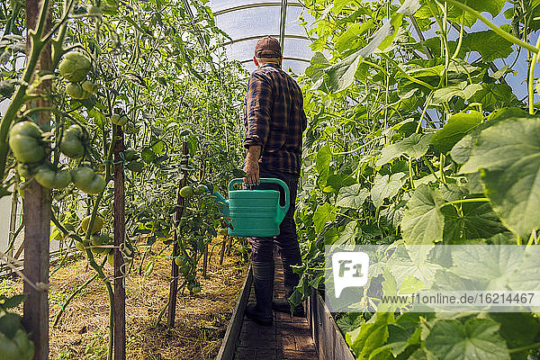 Farmer holding watering can at tomato plants in greenhouse