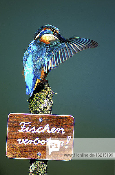Kingfisher on signboard saying fishing forbidden  close-up