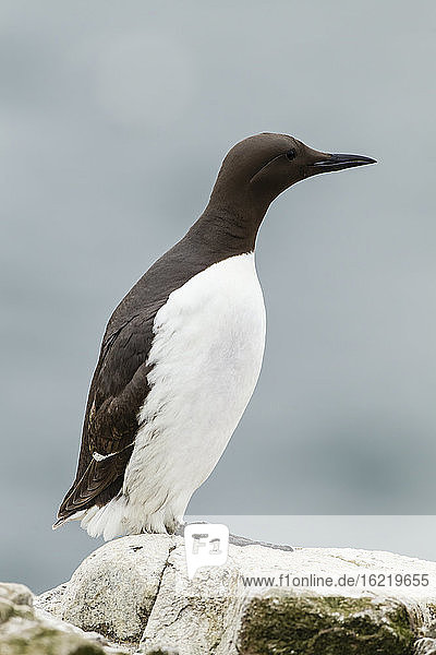 England  Northumberland  Guillemots perching