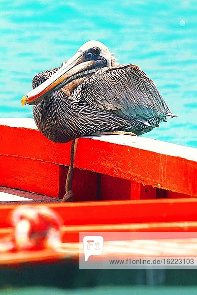 Niederländische Antillen. Bonaire. Pelikan.