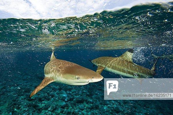 Schwarzspitzen-Riffhaie (Carcharhinus melanopterus) unter der Wasseroberfläche  Pazifik
