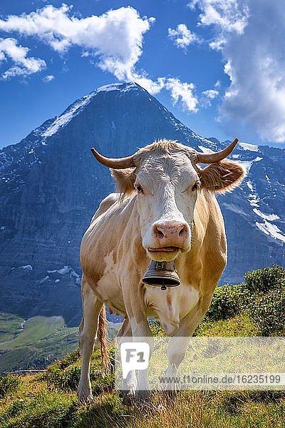 Swiss cow in the high mountains  Jungfrau region  Canton of Bern  Switzerland  Europe