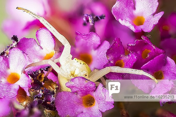Veränderliche Krabbenspinne (Misumena vatia) in Lauerstellung auf Schmetterlingsflieder (Buddleja davidii)  Hessen  Deutschland  Europa