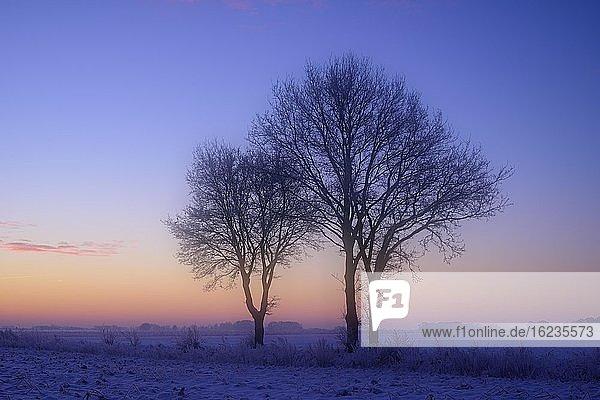 Silhouetten von Eichen (Quercus) im Nebel bei Tagesanbruch  Sonnenaufgang  blaü Stunde  Vestrup  Niedersachsen  Deutschland  Europa
