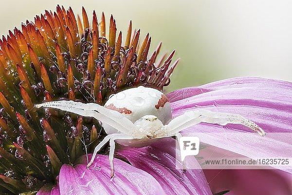 Veränderliche Krabbenspinne (Misumena vatia) in Lauerstellung auf Purpur-Sonnenhut (Echinacea purpurea)  Hessen  Deutschland  Europa