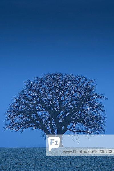 Silhouette einer großen Eiche (Quercus) in der blauen Stunde  Melle  Nordrhein-Westfalen  Germany