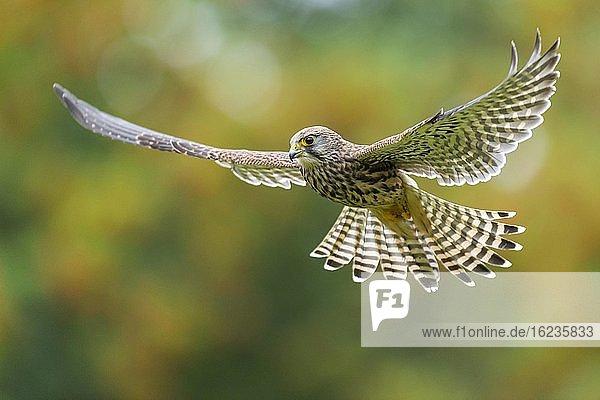 Fliegender Turmfalke (Falco tinnunculus)  jagend im Rüttelflug  Oldenburger Münsterland  Vechta  Niedersachsen  Deutschland  Europa
