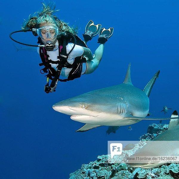 Grauer Riffhai (Carcharhinus amblyrhynchos) und Taucher,  Pazifik