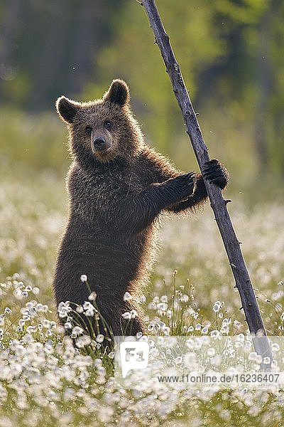 Braunbär (Ursus arctos) steht an einem Baum in einem Moor mit fruchtendem Wollgras am Rande in eines borealen Nadelwaldes  Suomussalmi  Karelien  Finnland  Europa
