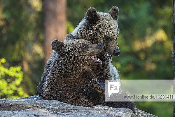 Braunbären (Ursus arctos) kämpfen spielerisch in einem borealen Nadelwald  Spiel  Suomussalmi  Karelien  Finnland  Europa