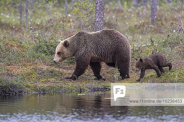 Braunbärin (Ursus arctos) mit Jungtier am Ufer eines Sees am Rande eines borealen Nadelwaldes  Suomussalmi  Karelien  Finnland  Europa