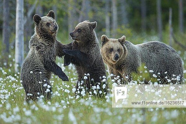 Familie Braunbär (Ursus arctos) in einem Moor mit fruchtendem Wollgras  Jungbären spielen  Suomussalmi  Karelien  Finnland  Europa