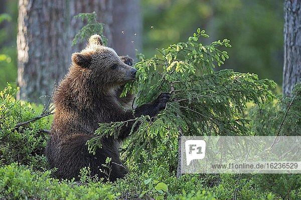 Junger Braunbär (Ursus arctos) spielt mit einem Baum im borealen Nadelwald  Suomussalmi  Karelien  Finnland  Europa