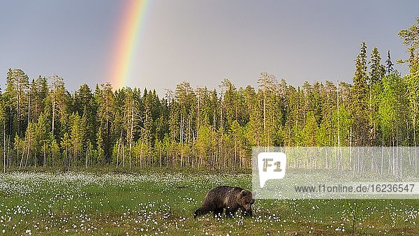 Braunbär (Ursus arctos) in einem Moor mit fruchtendem Wollgras am Rande in eines borealen Nadelwaldes  Regenbogen  Suomussalmi  Karelien  Finnland  Europa