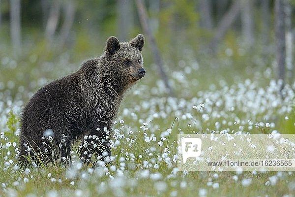 Braunbär (Ursus arctos) in einem Moor mit fruchtendem Wollgras  aufmerksam  sichernd  Suomussalmi  Karelien  Finnland  Europa
