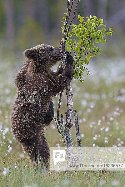 Junger Braunbär (Ursus arctos) spielt aufrecht stehend in einem Moor mit fruchtendem Wollgras an einer Birke  Suomussalmi  Karelien  Finnland  Europa