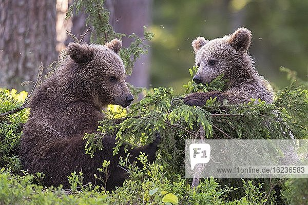 Zwei junge Braunbären (Ursus arctos) spielen im borealen Nadelwald mit einer jungen Kiefer  Suomussalmi  Karelien  Finnland  Europa