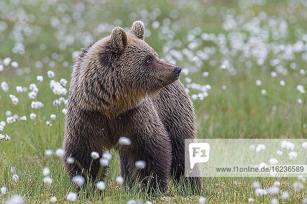 Braunbär (Ursus arctos) in einem Moor mit fruchtendem Wollgras  Suomussalmi  Karelien  Finnland  Europa