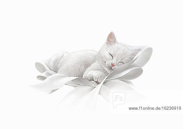 Süßes weißes Kätzchen schläft