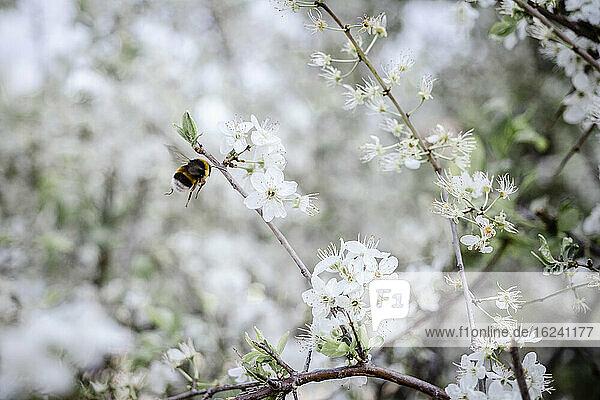 Biene über weißen Blüten