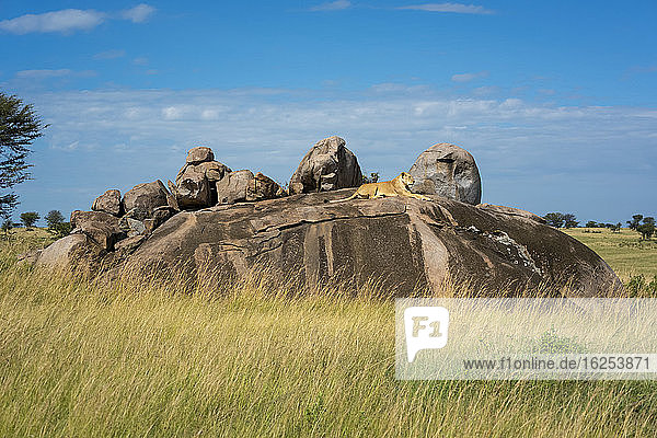 Lioness (Panthera leo) lying down on rocky outcrop on savanna; Tanzania